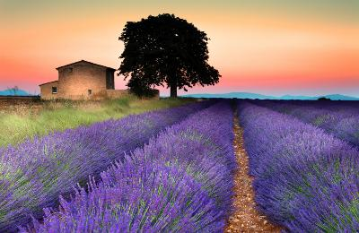 Avignon, France Attractions: Provence Lavender Fields