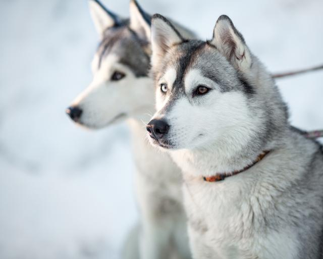 Go dogsledding in Norway with these Pups